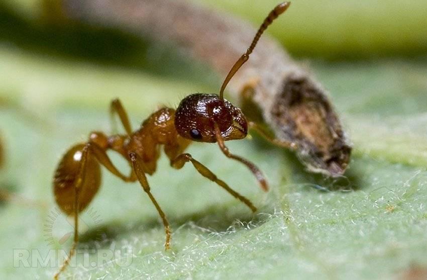 Как избавиться от муравьев - только эффективные способы
