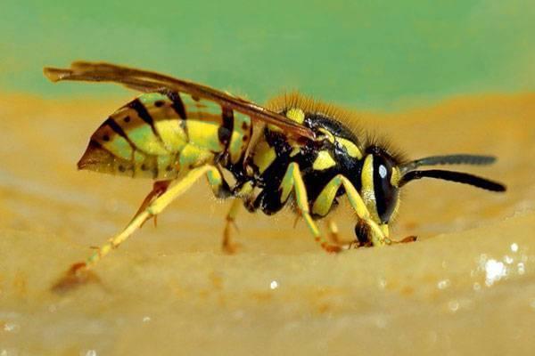 Может ли человек умереть от укуса осы?