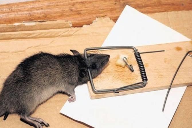 Чем мышь отличается от крысы