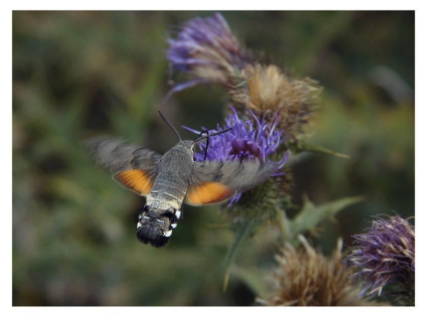 Мотылек похожий на колибри. винный бражник – образ жизни редких бабочек и гусениц