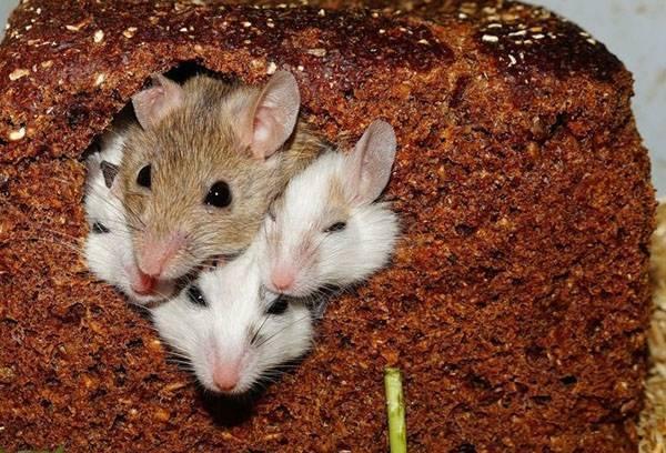Победа будет за вами! эффективные средства от мышей и крыс в частном доме