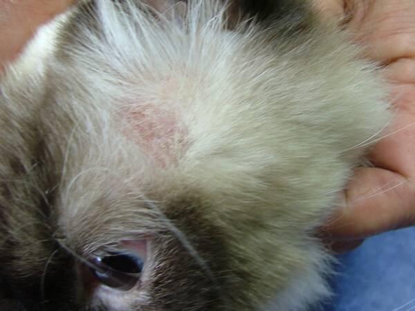 Подкожный клещ у собаки: симптомы и лечение