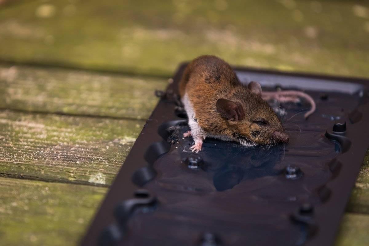 Как безопасно провести уничтожение мышей в доме