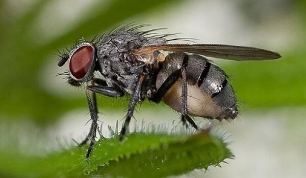 Плодовые мухи: 5 простых способов избавиться