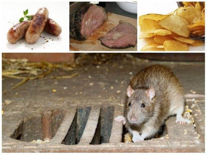 Как поймать крысу на даче, в доме: самодельные способы и ловушки