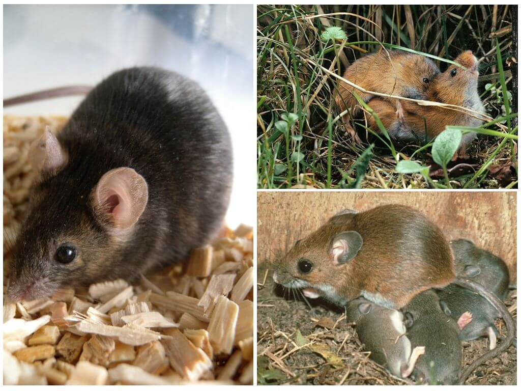 Черная мышь – опасное соседство