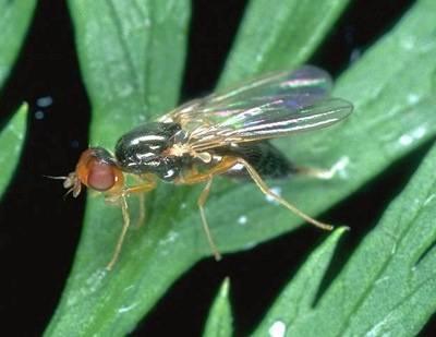 Эффективные методы борьбы с морковной мухой