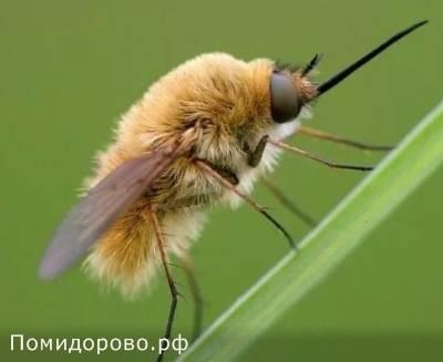 Осовидная муха журчалка, или муха сирфида — внешний вид и среда обитания.