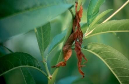 Восточная плодожорка на персике борьба. восточная плодожорка: как избавиться от сельскохозяйственного вредителя