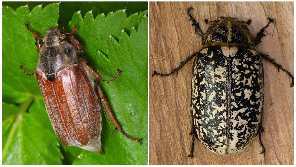 Описание и фото жука июльский хрущ