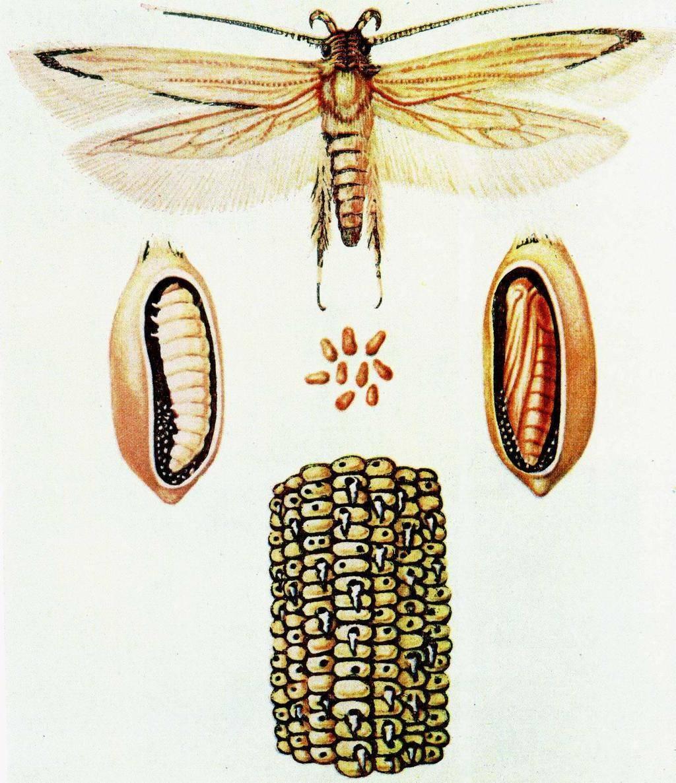 Жук щелкун: как выглядит на фото и меры борьбы с насекомым
