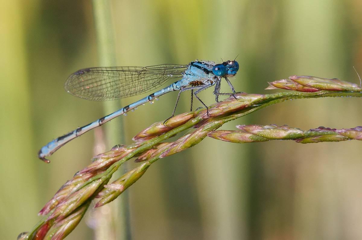 Стрекоза стрелка красивая и другие виды семейства стрелки