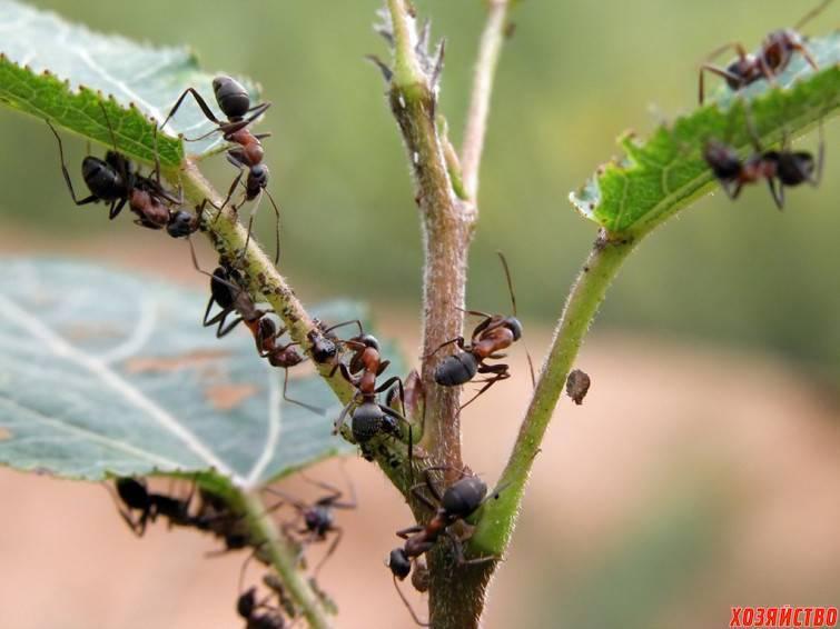 Как помогает корица от муравьев