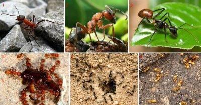 Чего боятся домашние муравьи