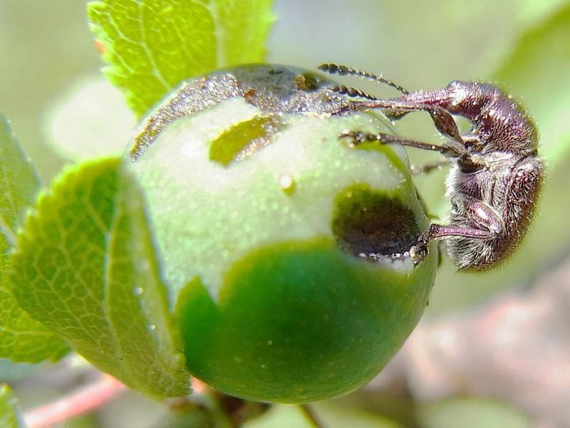Яблоневый цветоед: описание и борьба с ним