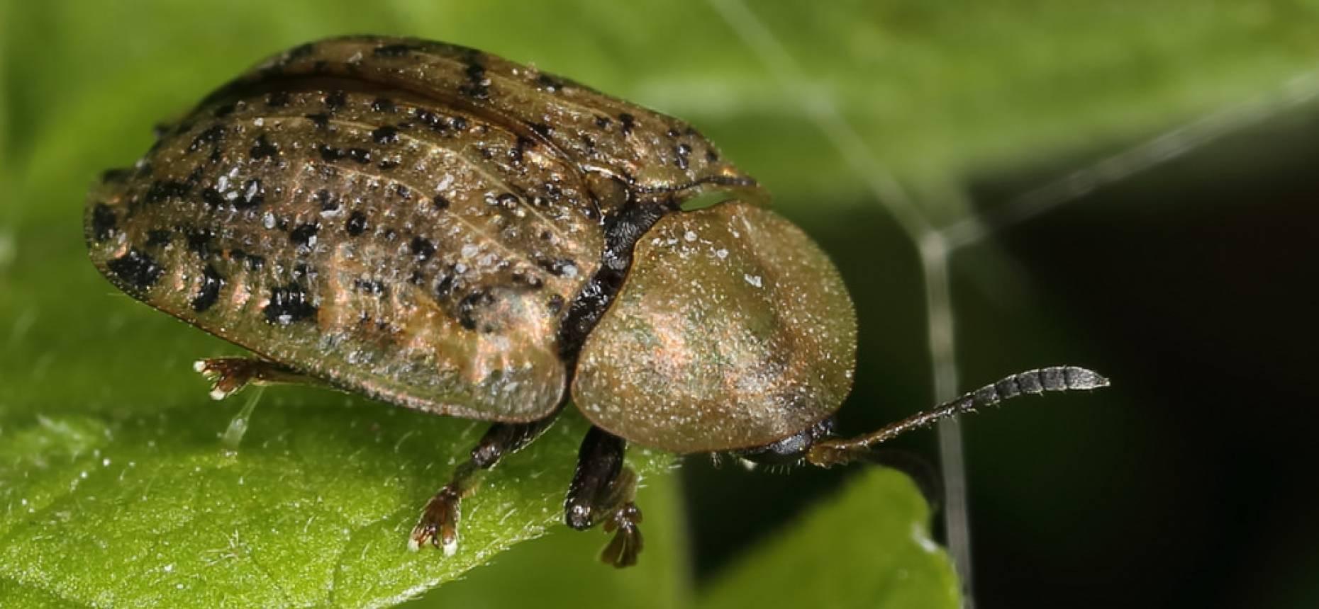 Свекловичная щитоноска – как защитить урожай свеклы