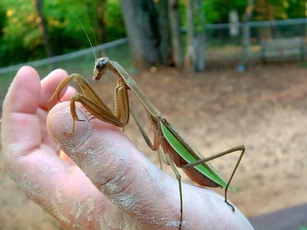 Богомол обыкновенный – живая ловушка для насекомых. богомол – поразительное насекомое