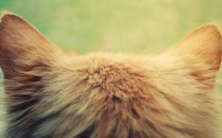 Ушной клещ у собаки (Отодектоз) - как выгляди и чем лечить