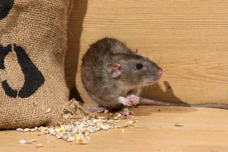 Болезни крыс, передающиеся человеку