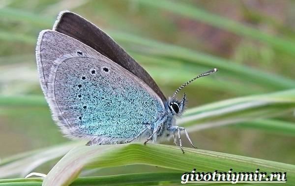 Бабочка голубянка: фото и описание видов, среда обитания, интересные факты