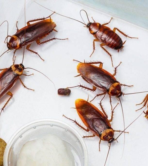 Борьба с тараканами народными средствами: 10 лучших средств