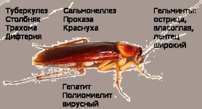 Чем опасны тараканы: какой вред и болезни они переносят
