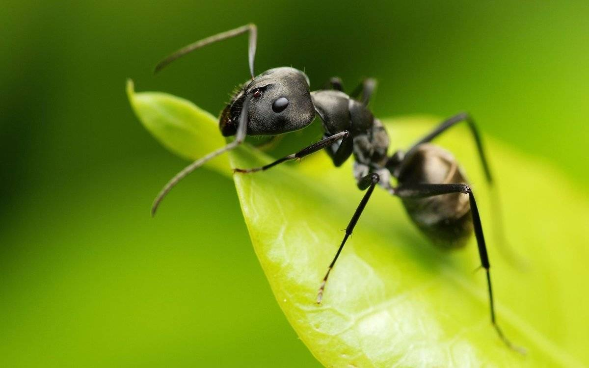 К чему появляются муравьи в доме или квартире — описание примет, что сулит заселение насекомых
