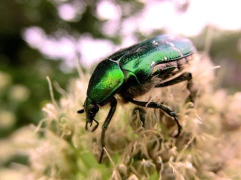 Афодий двупятнистый — что за странное создание природы?