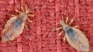Как вывести и избавиться от бельевых, постельных вшей в домашних условиях