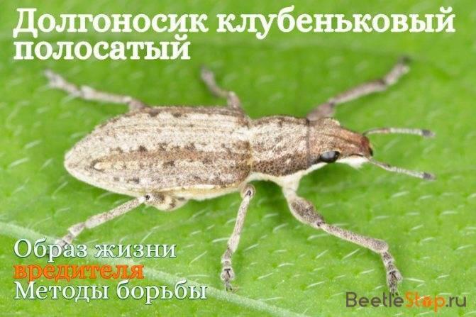 Долгоносик клубеньковый полосатый— злостный враг бобовых культур