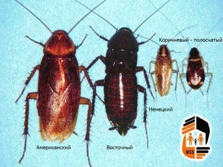 Домашние тараканы – бич современного мегаполиса!