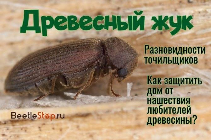 Как избавиться от жука древоточца: самые эффективные методы