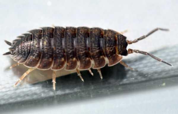 Средства борьбы с насекомыми: как избавиться от мокриц в квартире самостоятельно?