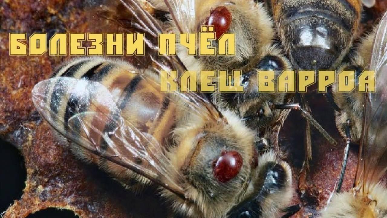 4 способа как вылечить Варроатоз пчел