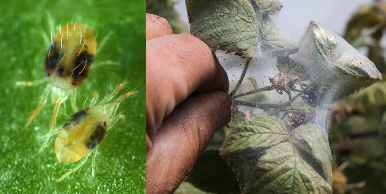 Чем обработать малину от вредителей