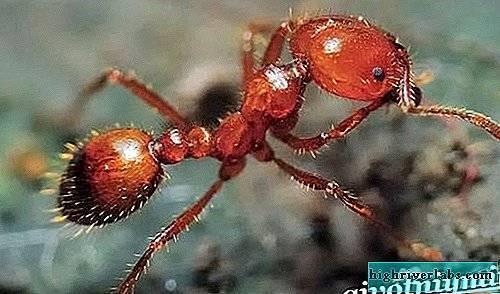 Самые больные укусы. красные или огненные муравьи-жнецы. видео «укусы муравьев»
