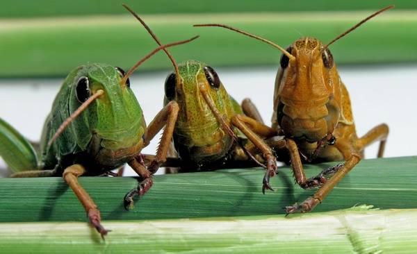 Описание и фото гусеницы и бабочки сибирского шелкопряда