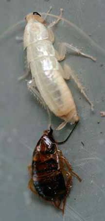 Тараканы мутанты. тайны и домыслы о белых тараканах-альбиносах: откуда взялись, что это вообще такое, опасны ли для человека. может ли укусить человека
