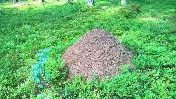 О чем предупреждают приснившиеся женщине муравьи?