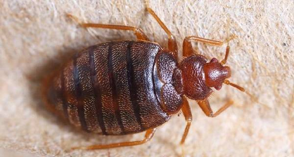 Чего не выносят домашние клопы? как правильно воспользоваться страхами насекомых для их быстрого и эффективного уничтожения?