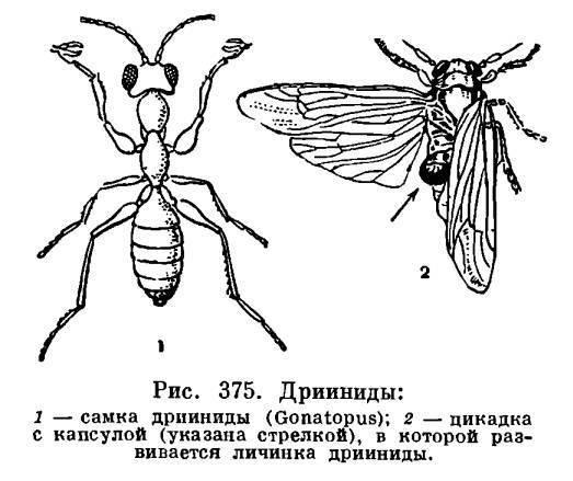 Кто такие роющие осы?