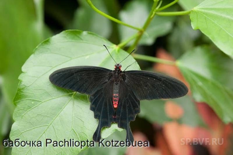 Махаон (бабочка)