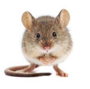 Можно ли и как избавиться от мышей в квартире навсегда?