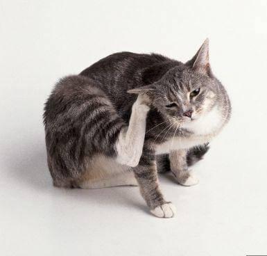 Триходектоз у кошек: лечение и профилактика