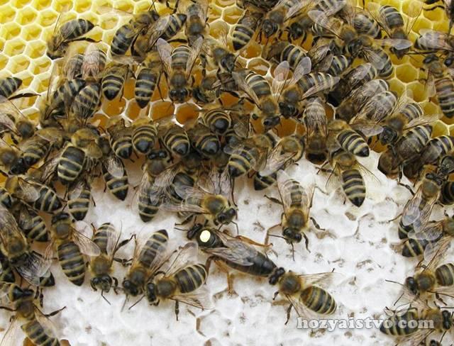 Пчела карпатка: характеристика, описание породы, фото