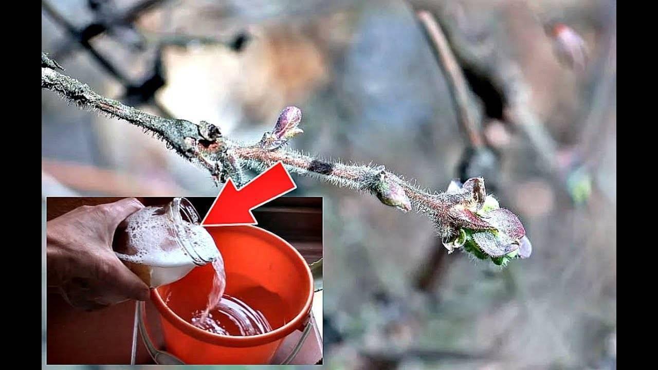 Жимолость: основные вредители растения
