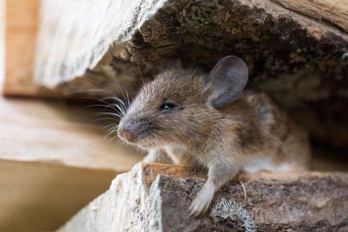 Защищаем дом от вредителей: чего боятся мыши и крысы