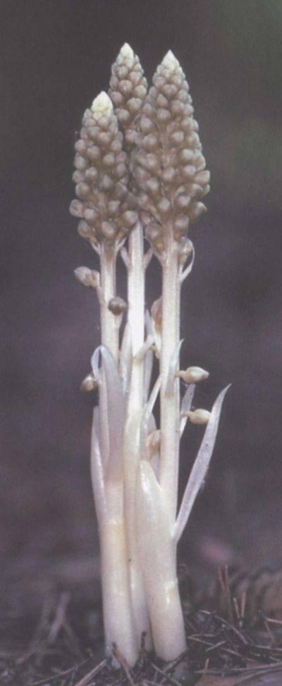 Осы-сколии – характеристика семейства и роль в природе