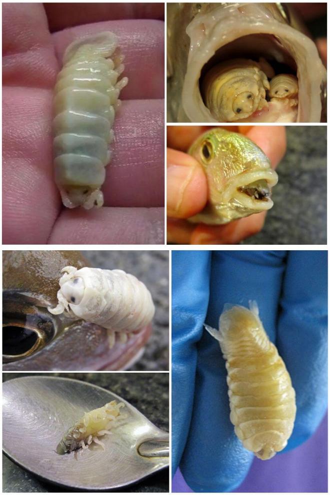 Языковая мокрица: возможно ли заражение человека морским паразитом?
