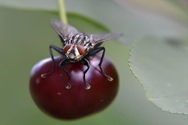 Что делать, если в саду завелась вишневая муха? самые эффективные методы борьбы